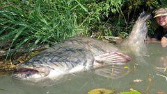 Monster fish : Silure de + de 250 cm !